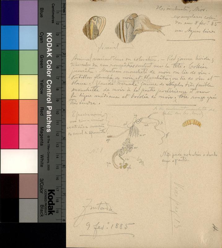 <em>Helix inchoata</em> (Morelet, 1845)