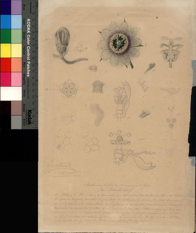 Anatomia da flor da passiflora