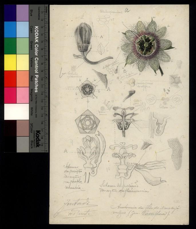 Anatomia da flor do maracujá vulgar