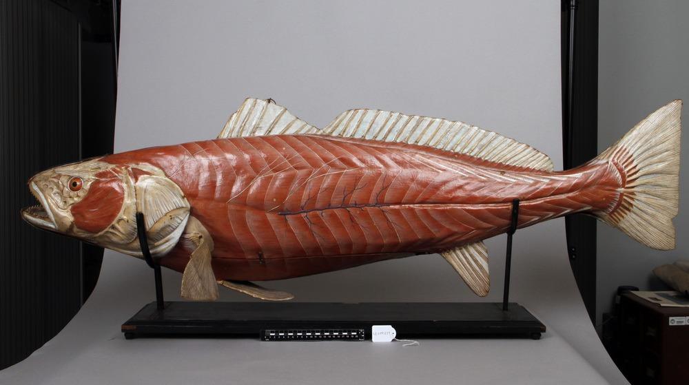 http://www.arca.museus.ul.pt/ArcaSite/obj/auzoux/MUHNAC-0001934-MB-IMG-web.JPG