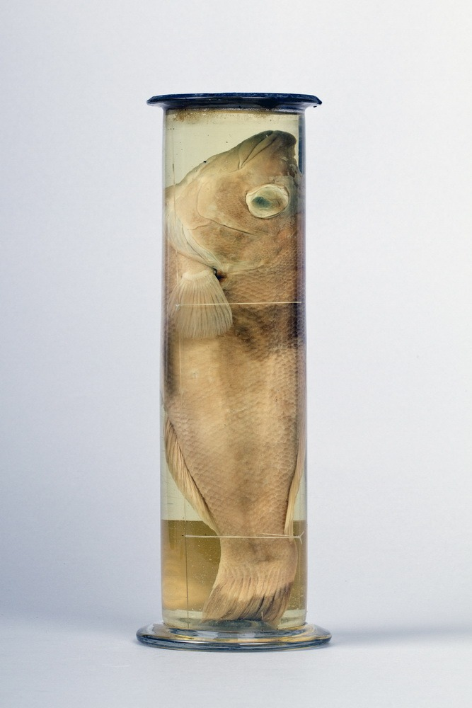 http://www.arca.museus.ul.pt/ArcaSite/obj/peixes2/MUHNAC-0002164-MB-IMG-web.JPG