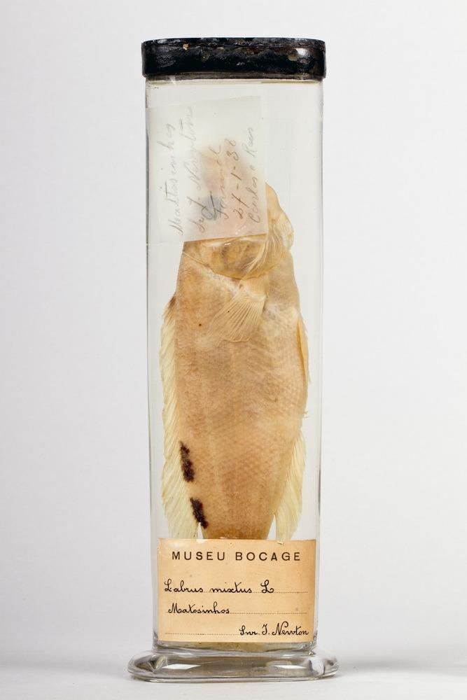http://www.arca.museus.ul.pt/ArcaSite/obj/peixes2/MUHNAC-0002165-MB-IMG-web.JPG