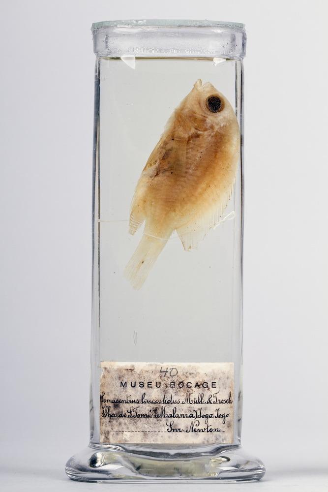 http://www.arca.museus.ul.pt/ArcaSite/obj/peixes2/MUHNAC-0002179-MB-IMG-web.JPG