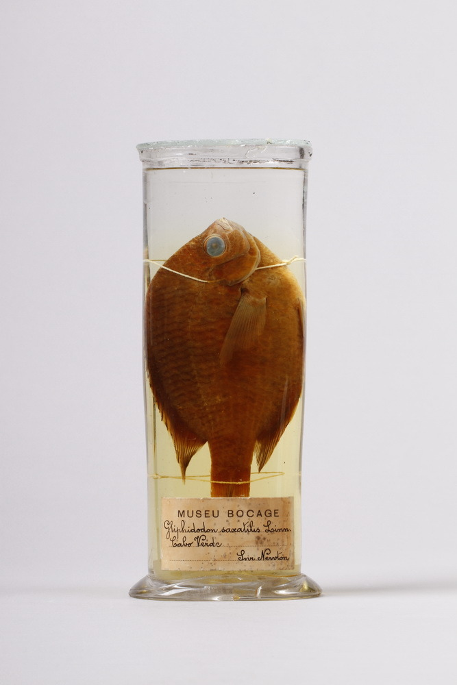 http://www.arca.museus.ul.pt/ArcaSite/obj/peixes2/MUHNAC-0002185-MB-IMG-web.JPG