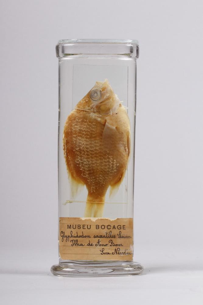 http://www.arca.museus.ul.pt/ArcaSite/obj/peixes2/MUHNAC-0002197-MB-IMG-web.JPG