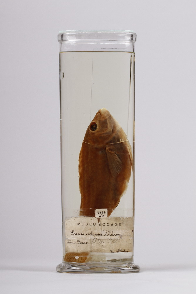 http://www.arca.museus.ul.pt/ArcaSite/obj/peixes2/MUHNAC-0002198-MB-IMG-web.JPG