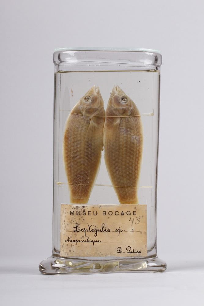 http://www.arca.museus.ul.pt/ArcaSite/obj/peixes2/MUHNAC-0002199-MB-IMG-web.JPG