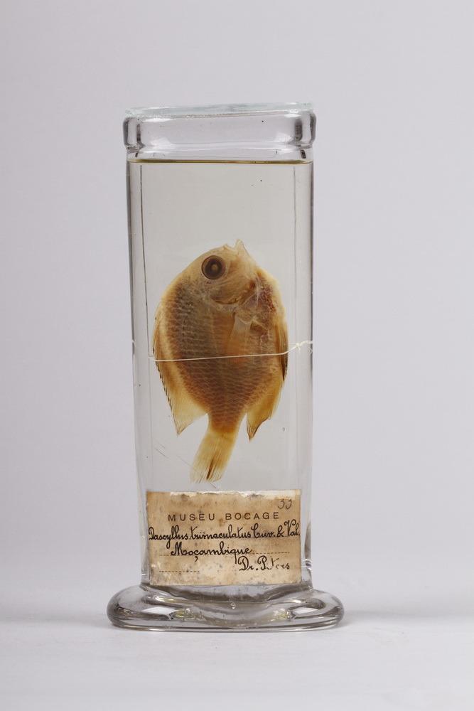 http://www.arca.museus.ul.pt/ArcaSite/obj/peixes2/MUHNAC-0002200-MB-IMG-web.JPG