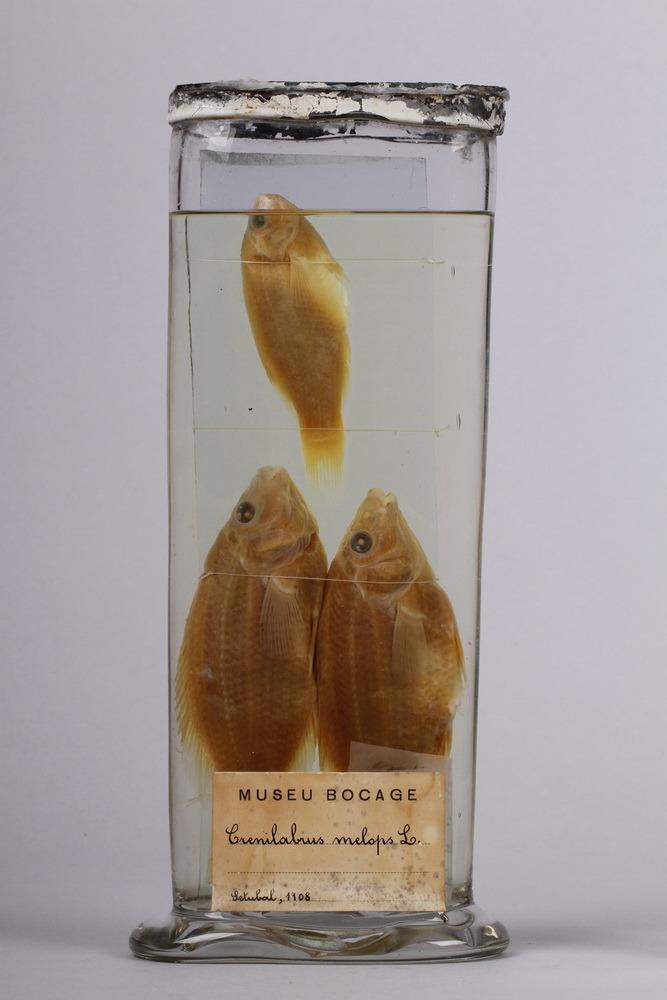 http://www.arca.museus.ul.pt/ArcaSite/obj/peixes2/MUHNAC-0002206-MB-IMG-web.JPG