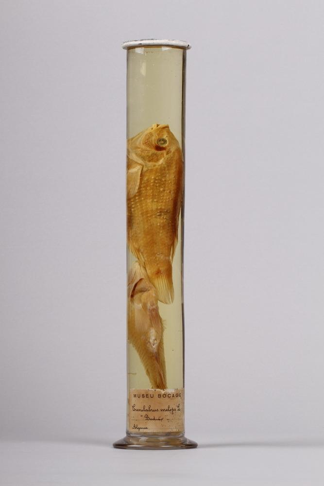 http://www.arca.museus.ul.pt/ArcaSite/obj/peixes2/MUHNAC-0002209-MB-IMG-web.JPG