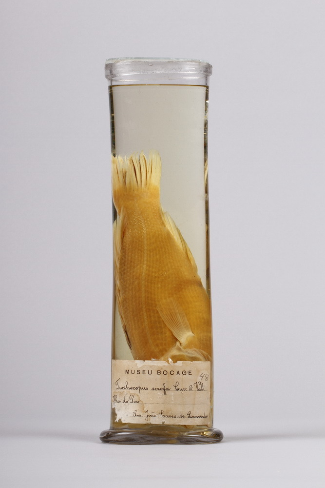 http://www.arca.museus.ul.pt/ArcaSite/obj/peixes2/MUHNAC-0002213-MB-IMG-web.JPG