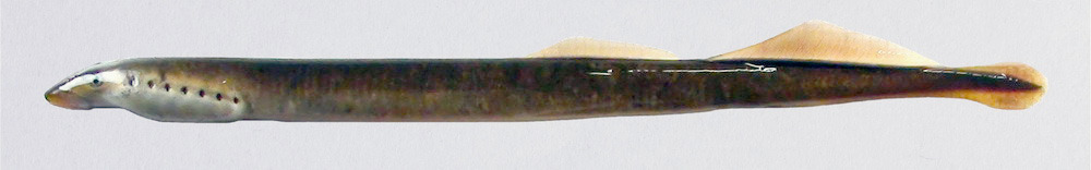http://www.arca.museus.ul.pt/ArcaSite/obj/peixes2/MUHNAC-0002634-MB-IMG-web.JPG
