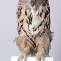 http://www.arca.museus.ul.pt/ArcaSite/obj/aves/MUHNAC-0000677-MB-IMG-web.JPG