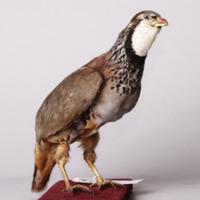 http://www.arca.museus.ul.pt/ArcaSite/obj/aves/MUHNAC-0000680-MB-IMG-web.JPG