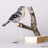 http://www.arca.museus.ul.pt/ArcaSite/obj/aves/MUHNAC-0000681-MB-IMG-web.JPG