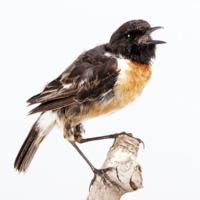http://www.arca.museus.ul.pt/ArcaSite/obj/aves/MUHNAC-0000682-MB-IMG-web.JPG