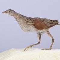 Espécime naturalizado da espécie Crex crex (Codornizão). Coleção de Aves (MB02-0000576).