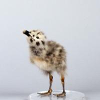 http://www.arca.museus.ul.pt/ArcaSite/obj/aves/MUHNAC-0000685-MB-IMG-web.JPG