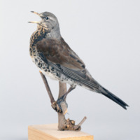 http://www.arca.museus.ul.pt/ArcaSite/obj/aves/MUHNAC-0000688-MB-IMG-web.JPG
