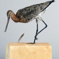 http://www.arca.museus.ul.pt/ArcaSite/obj/aves/MUHNAC-0000689-MB-IMG-web.JPG