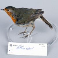 http://www.arca.museus.ul.pt/ArcaSite/obj/aves/MUHNAC-0000691-MB-IMG-web.JPG