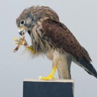 http://www.arca.museus.ul.pt/ArcaSite/obj/aves/MUHNAC-0000697-MB-IMG-web.JPG