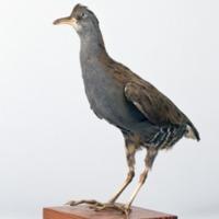 http://www.arca.museus.ul.pt/ArcaSite/obj/aves/MUHNAC-0000699-MB-IMG-web.JPG