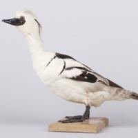 http://www.arca.museus.ul.pt/ArcaSite/obj/aves/MUHNAC-0000701-MB-IMG-web.JPG