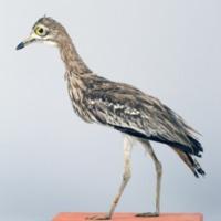 http://www.arca.museus.ul.pt/ArcaSite/obj/aves/MUHNAC-0000702-MB-IMG-web.JPG