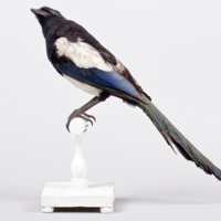 http://www.arca.museus.ul.pt/ArcaSite/obj/aves/MUHNAC-0000705-MB-IMG-web.JPG