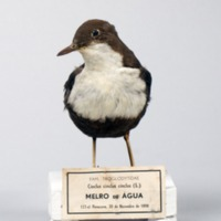 http://www.arca.museus.ul.pt/ArcaSite/obj/aves/MUHNAC-0000706-MB-IMG-web.JPG