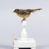 http://www.arca.museus.ul.pt/ArcaSite/obj/aves/MUHNAC-0000707-MB-IMG-web.JPG