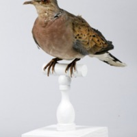 http://www.arca.museus.ul.pt/ArcaSite/obj/aves/MUHNAC-0000711-MB-IMG-web.JPG
