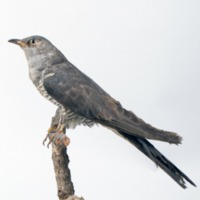 http://www.arca.museus.ul.pt/ArcaSite/obj/aves/MUHNAC-0000712-MB-IMG-web.JPG