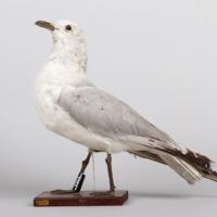 http://www.arca.museus.ul.pt/ArcaSite/obj/aves2/MUHNAC-0002113-MB-IMG-web.JPG