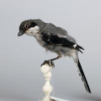 http://www.arca.museus.ul.pt/ArcaSite/obj/aves2/MUHNAC-0002114-MB-IMG-web.JPG