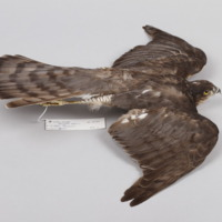 http://www.arca.museus.ul.pt/ArcaSite/obj/aves2/MUHNAC-0002115-MB-IMG-web.JPG