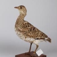 http://www.arca.museus.ul.pt/ArcaSite/obj/aves2/MUHNAC-0002117-MB-IMG-web.JPG