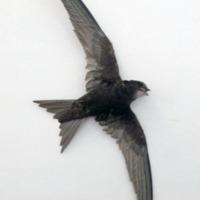 http://www.arca.museus.ul.pt/ArcaSite/obj/aves2/MUHNAC-0002125-MB-IMG-web.JPG