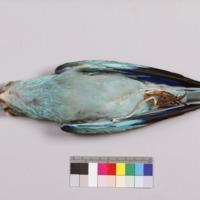 http://www.arca.museus.ul.pt/ArcaSite/obj/aves2/MUHNAC-0002129-MB-IMG-web.JPG