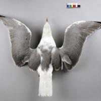 http://www.arca.museus.ul.pt/ArcaSite/obj/aves2/MUHNAC-0002131-MB-IMG-web.JPG
