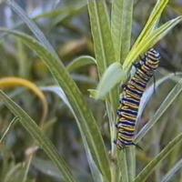 Lagarta da borboleta Monarca (Danaus plexippus)