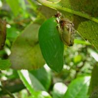 Crisálida de Borboleta do medronheiro