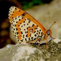 Forma adulta da borboleta Melithea didyma