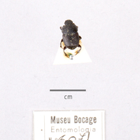 Espécime de da colecção de insectos (Ordem:Coleoptera), número de colecção MB07-006071.<br /><br />