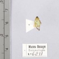 Espécime da colecção de insectos (Ordem: Coleoptera, Família: Scarabaeidae), número de colecção MB07-006211.&lt;br /&gt;<br /> &lt;br /&gt;<br /> Specimen of the Insect Collection (Order: Coleoptera, Famíly: Scarabaeidae), colection number MB07-006211.