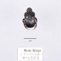 Espécime da colecção de insectos (Ordem: Coleoptera, Família: Scarabaeidae), número de colecção MB07-006353.&lt;br /&gt;<br /> &lt;br /&gt;<br /> Specimen of the Insect Collection (Order: Coleoptera, Famíly: Scarabaeidae), colection number MB07-006353.