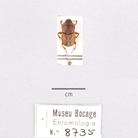 Espécime da colecção de insectos (Ordem: Coleoptera), número de colecção MB07-008735.<br /><br />