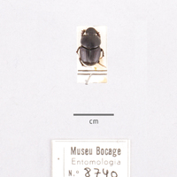Espécime da colecção de insectos, da espécie (Ordem: Coleoptera, Família: Scarabaeidae), número de colecção MB07-008740.&lt;br /&gt;<br />