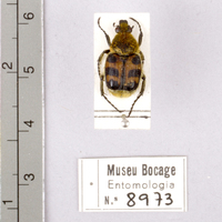 Espécime da colecção de insectos (Ordem: Coleoptera), número de colecção MB07-008973.<br /><br />